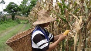 China enfrenta escasez de maíz y se refugia en importaciones de EE. UU.