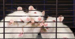 Científicos militares chinos crearon ratones con pulmones humanizados para probar el coronavirus