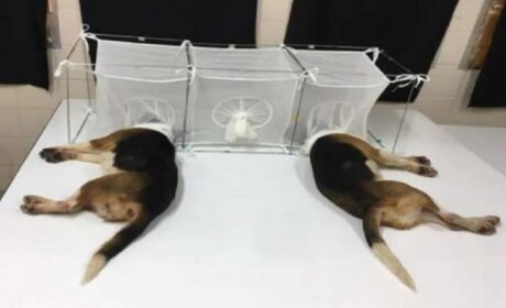 Fauci habría participado en crueles experimentos con perros encerrados en jaulas para que los mosquitos hambrientos se los comieran vivos